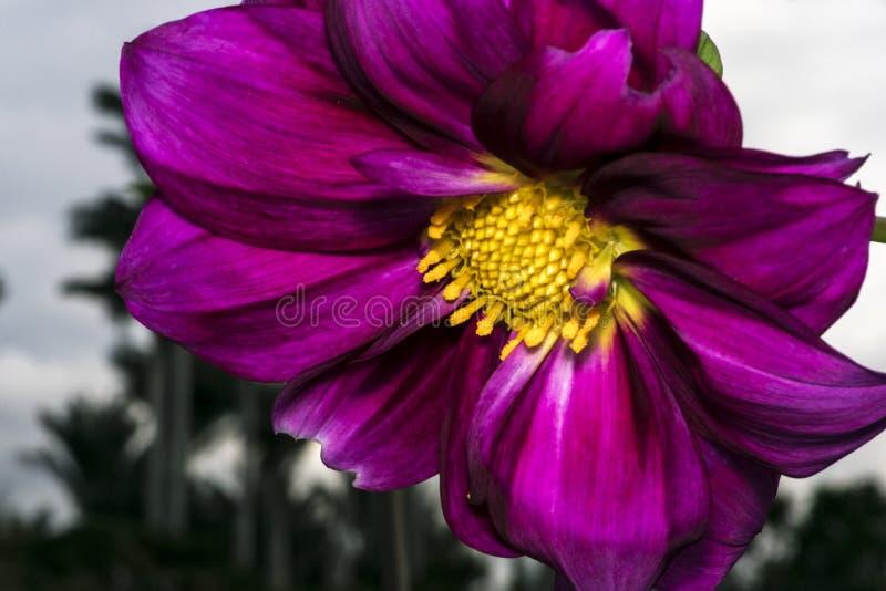 Purple flower with yellow stamen and pollen stock image image of download purple flower with yellow stamen and pollen stock image image of blossom pistil mightylinksfo Choice Image