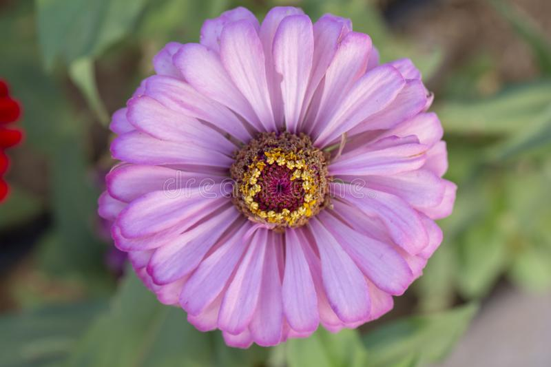 Purple flower of Zinnia Elegans or close-up in the garden on blurred background of green leaves. Selective focus royalty free stock photography