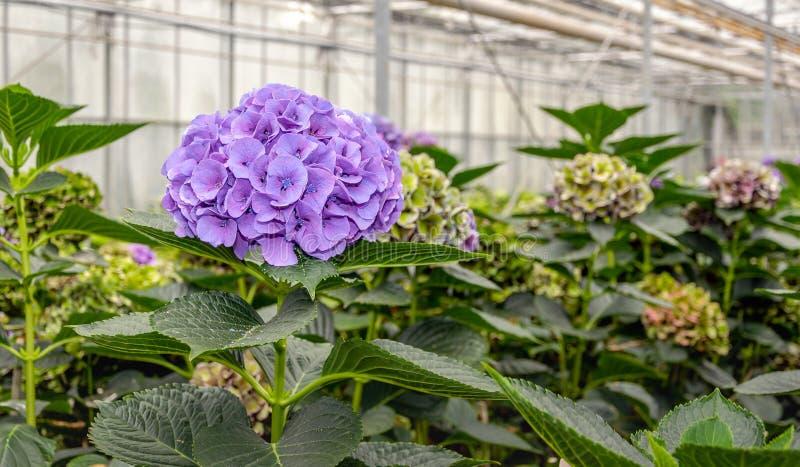 Purple flowering Hydrangea in a Hydrangea cut flowers nursery royalty free stock photo