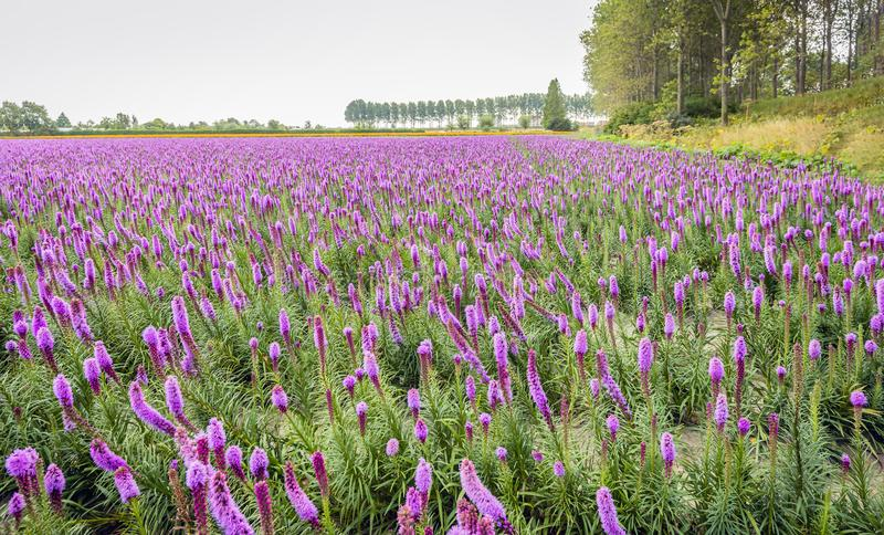 Purple flowering Liatris spicata plants in a large field. Colorful image of a large field with rows of purple flowering and budding dense blazing star or Liatris royalty free stock images