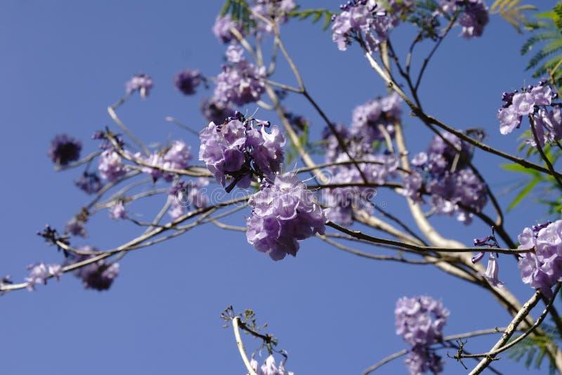 Purple flowering plant flowers `jascarnada plant`. Decoration plant for garden landscape and roadside stock image
