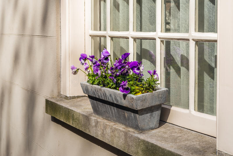 Purple flowering violas growing in a stone planter on a window s. Purple flowering violas growing in a stone plant box on a window sill and in front of an old royalty free stock images
