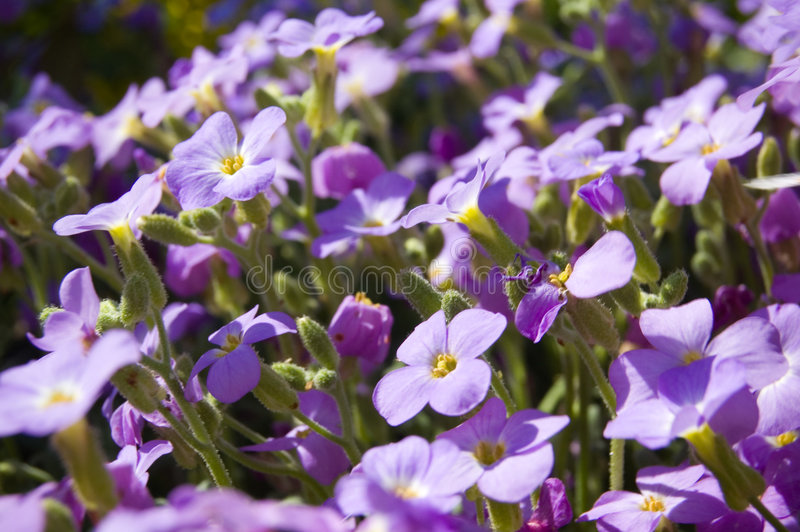 Download Purple Flowers Royalty Free Stock Photos - Image: 2262348