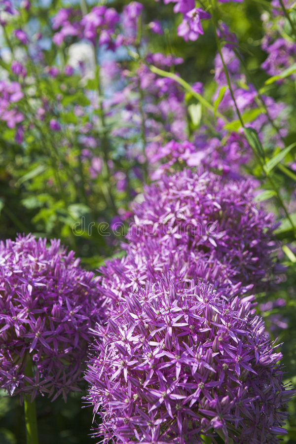 Purple flowers. Close up shot of purple flowers in vancouver garden stock photography