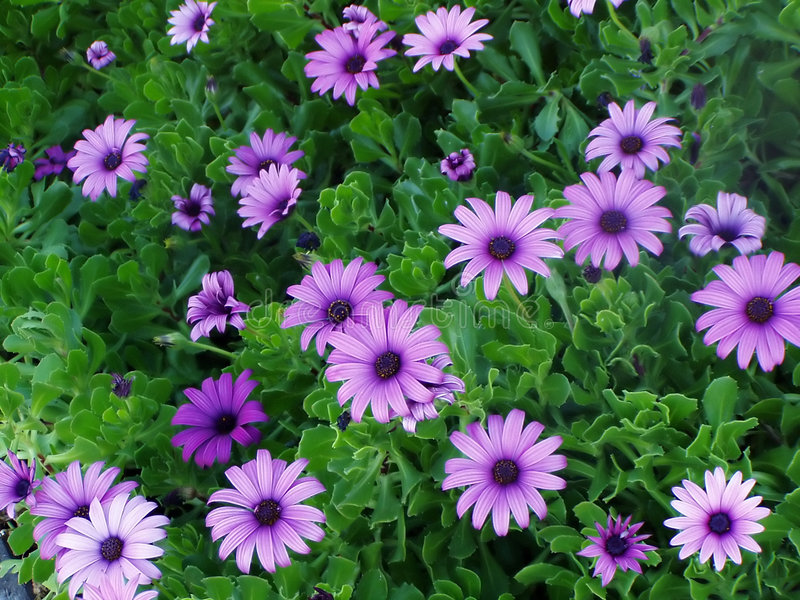 Download Purple flowers stock photo. Image of floral, bloom, environment - 966064