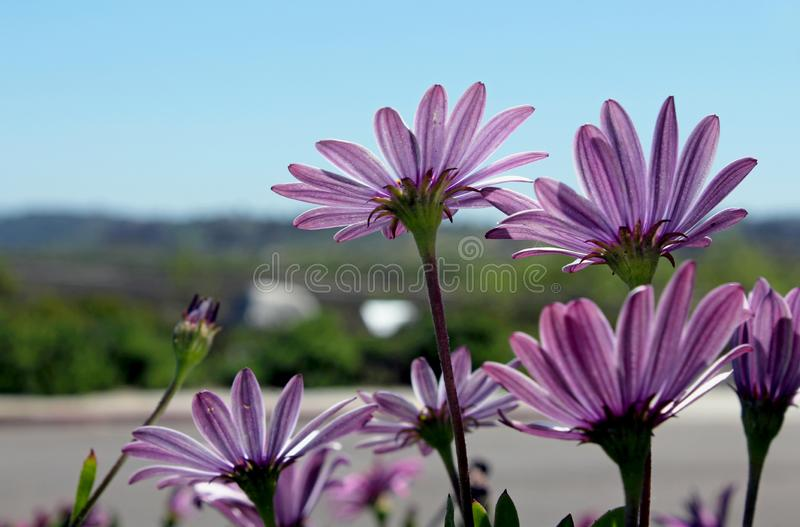 Purple African Daisy bush meadow in bloom. The purple flowers of African daisy is in full bloom. Osteospermum, is a genus of flowering plants belonging to the stock photography