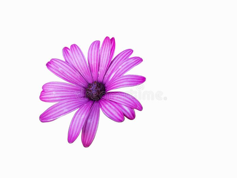 Purple flowers of african daisy isolated on the white background stock photos