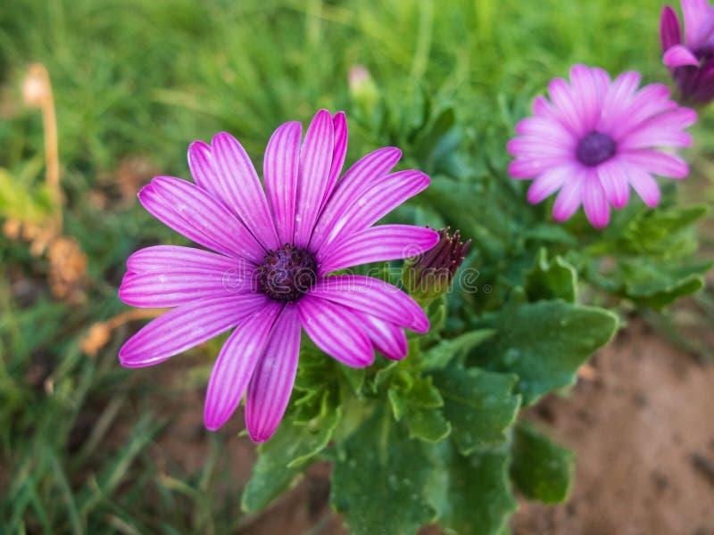 Purple flowers of african daisy. Purple Osteospermum flower.  royalty free stock image