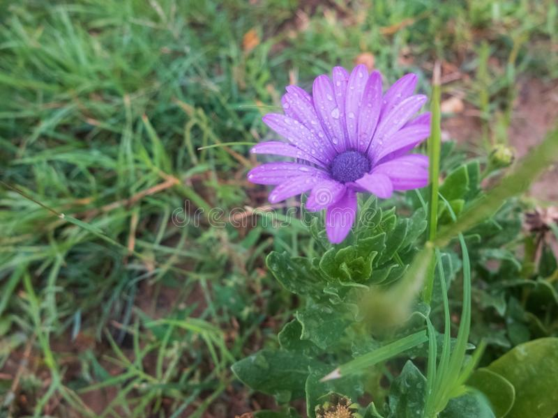 Purple flowers of african daisy. Purple Osteospermum flower.  stock photos