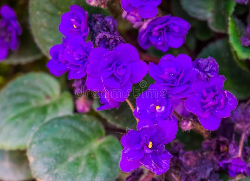 Purple flowers of a african violet in macro closeup, popular cultivated flowers from Africa, near threatened plant specie. Some Purple flowers of a african royalty free stock photo