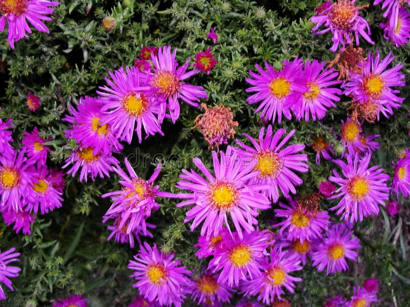 Purple flowers asters, Bush family flowers cultivated in the Russian garden in late summer. royalty free stock images