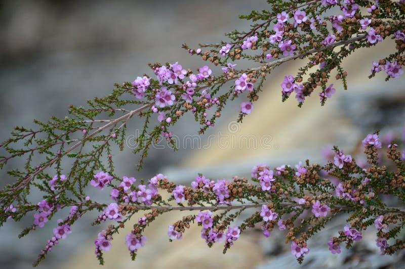 Purple flowers of the Australian Thryptomene denticulata. Delicate purple flowers of the Australian native shrub Thryptomene denticulata, family Myrtaceae stock image