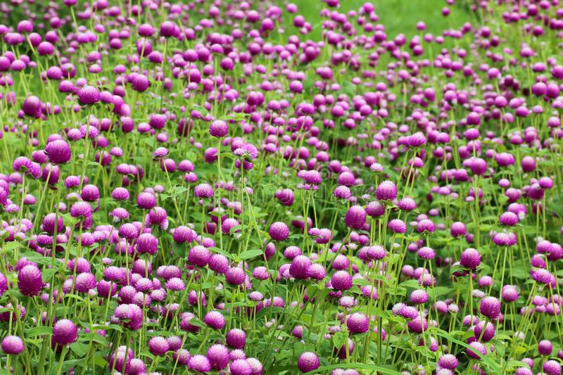purple flowers, bachelor button, gomphrena, flowers in the garden stock photo