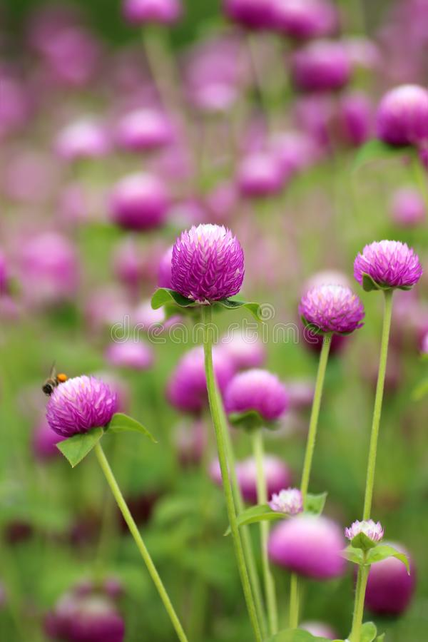 Purple flowers, bachelor button, gomphrena royalty free stock photos
