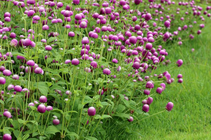 Purple flowers, bachelor button, gomphrena royalty free stock image