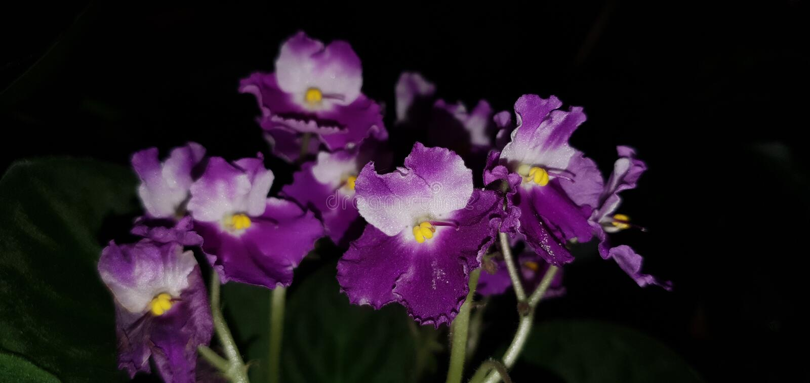 Purple flowers on a black background. stock photos