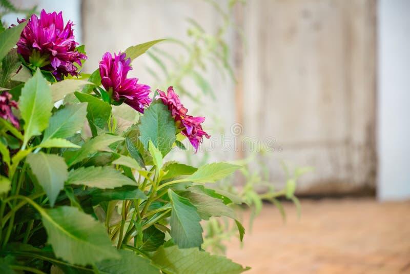 Purple flowers bloom in the garden stock photo