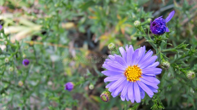 Purple flowers blooming and in the buds of perennial autumn asters of New England royalty free stock photography