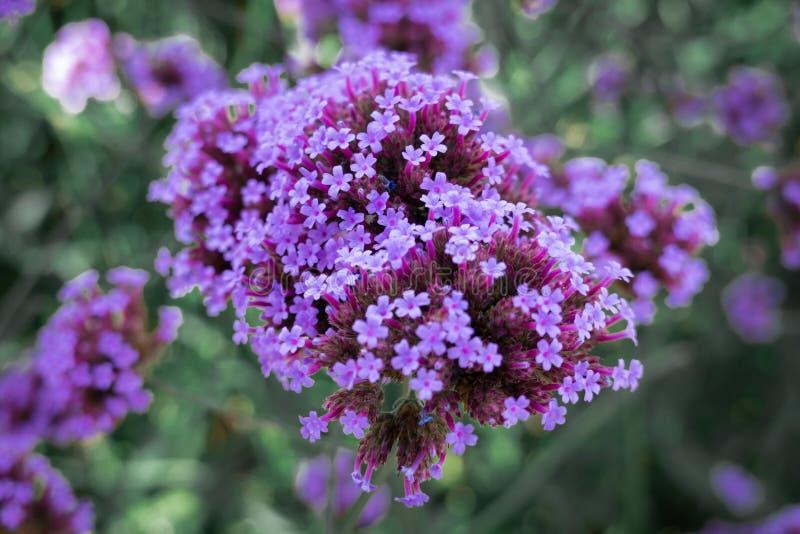 The purple flowers blossom stock image