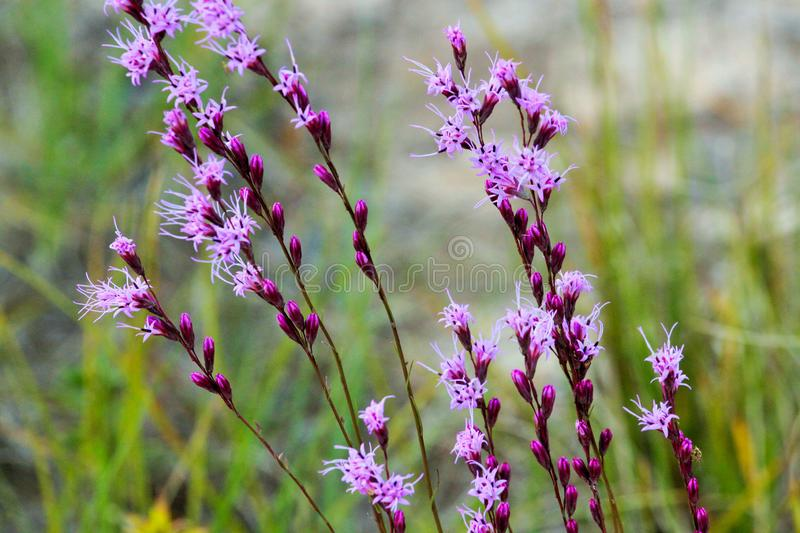 Blazing Stars in Purple along the Road in Hawthorne, Florida. Purple flowers called Blazing Stars line the roadway in Melrose Landing, Hawthorne, Florida royalty free stock photo