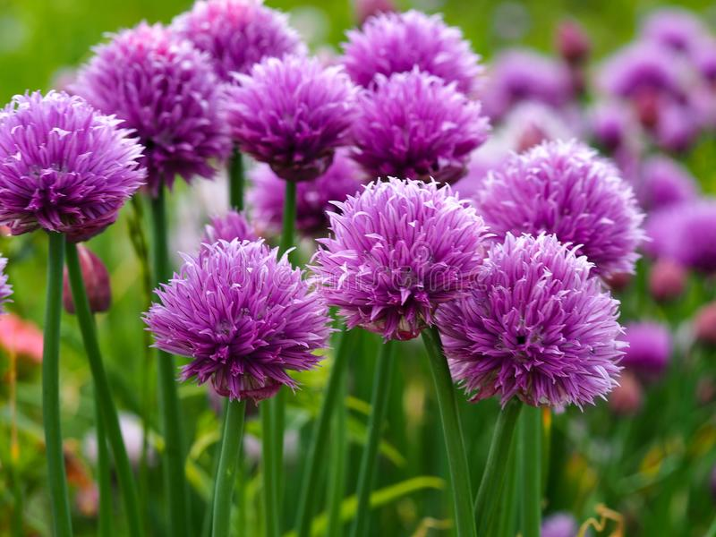 Purple flowers on chives growing in a garden. Pretty purple flowers on chive plants Allium schoenoprasum growing in a garden stock images