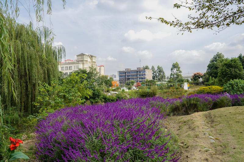 Purple flowers in city on cloudy winter day,Chengdu. Purple flowers in the city on cloudy winter day,Chengdu,China stock photography