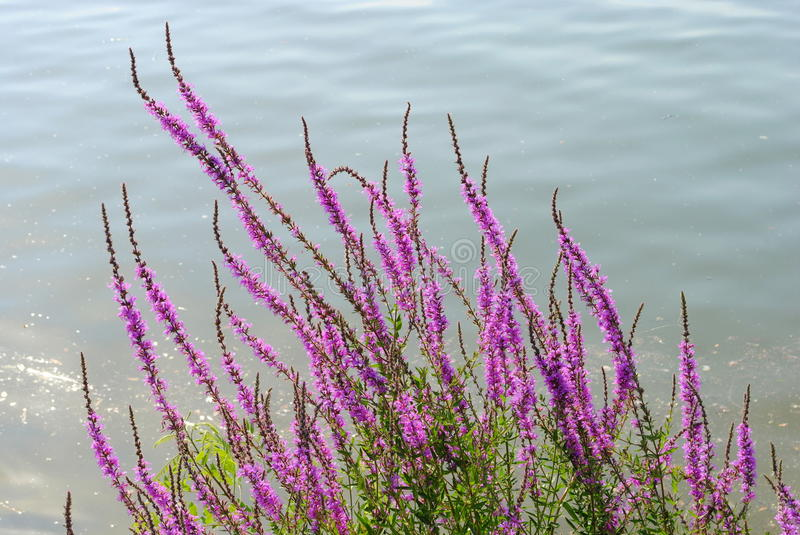 Download Purple Flowers Close To A River Stock Image - Image: 25821347