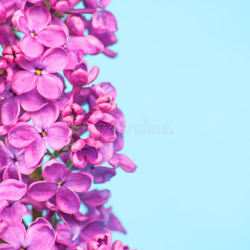 Download Purple Flowers Close Up On Blue Background Stock Image
