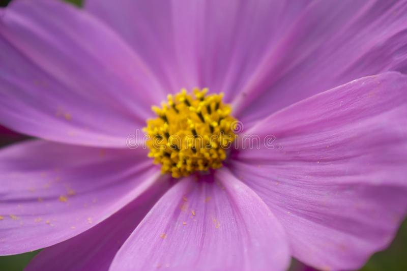 Purple flowers. Close-up of leaves. Abstraction. Selective focus royalty free stock photos