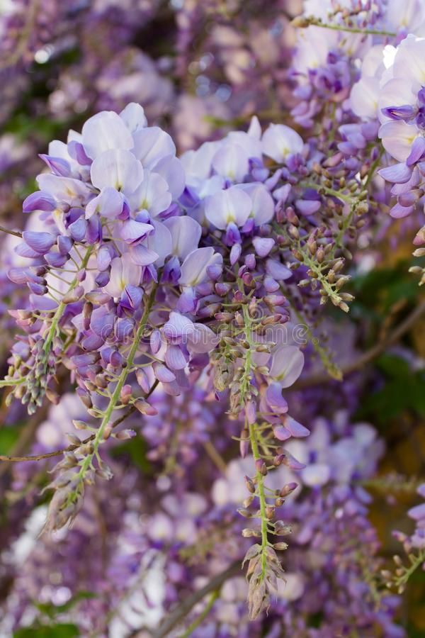 Purple flowers in bloom. Closeup royalty free stock photography