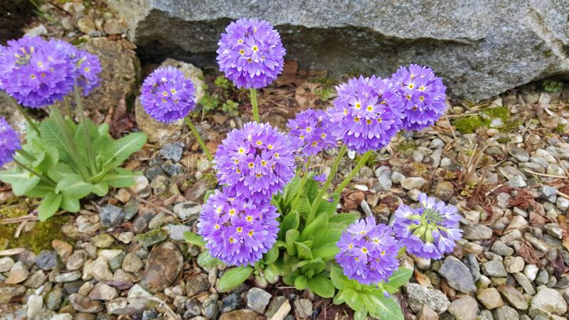 Purple Flowers of Drumstick Primula royalty free stock photography