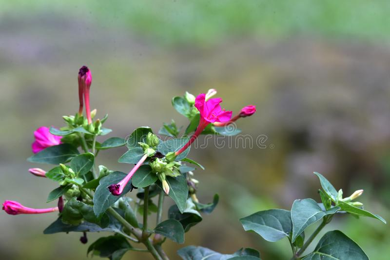 Purple flowers, elongated, like amethyst, with buds beside them stock photo