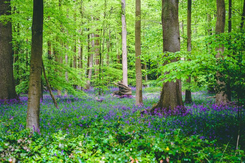 Lush English Forest Landscape with Violet Bluebell Flowers. Violet Bluebell Flowers among Trees in Lush English Forest Landscape. Scenic Green Foliage stock photo