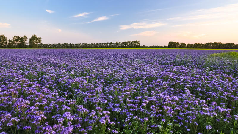 Purple flowers field on the sunset. Phacelia plantation. Honey plants. Beautiful countryside natural landscape stock photo