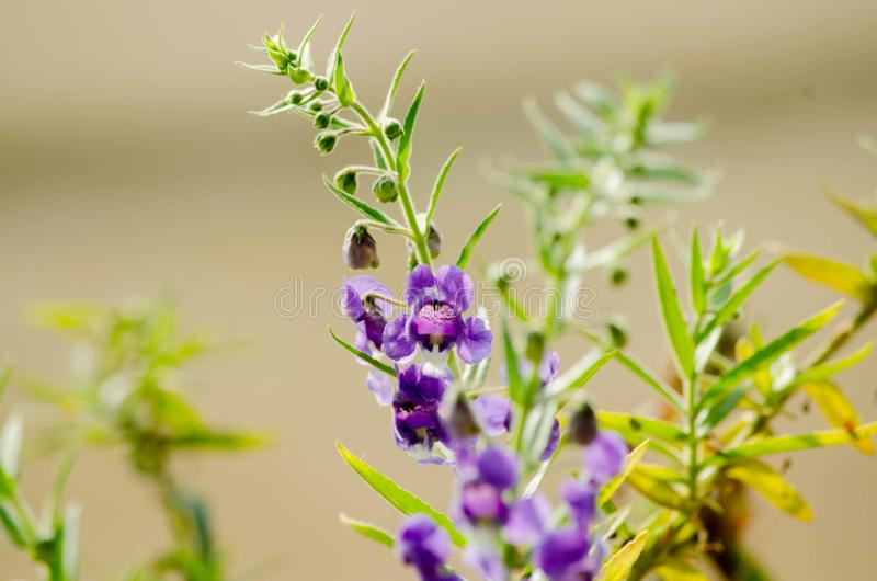 Purple flowers or forget me flowers Sakonnakhon,Forget me not Thailand stock image