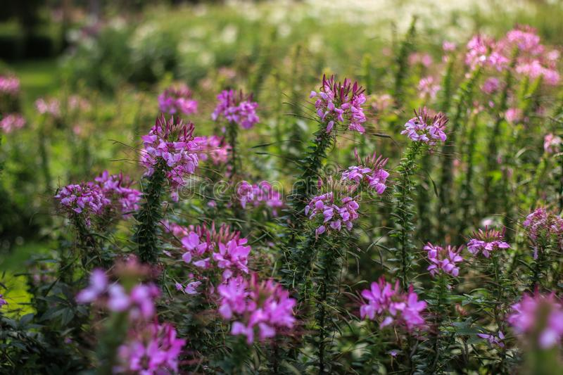 Purple flowers in the garden. Beautiful purple flowers in the garden stock image