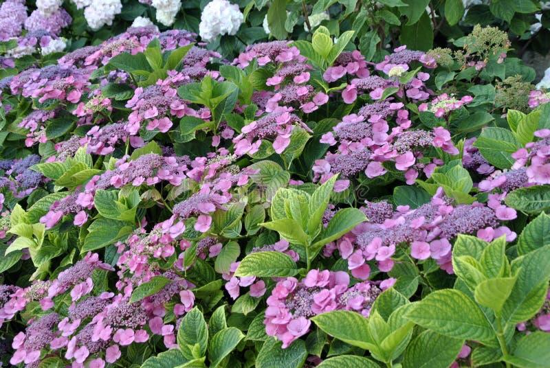 Purple flowers in a garden stock photo