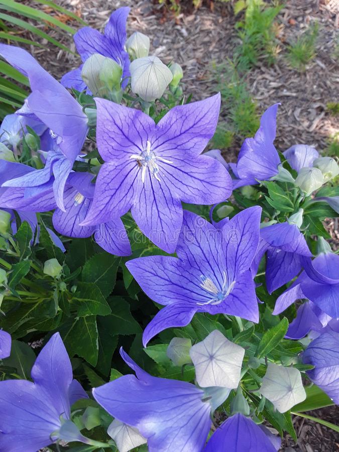Purple Flowers In A Garden In The Sun stock photography