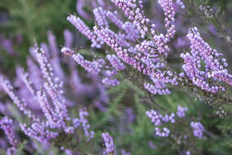 Purple flowers in grass closeup. Spting nature background. Violet and pink flowers. Blooming aroma flowers. Spring meadow. Purple flowers in grass closeup royalty free stock image