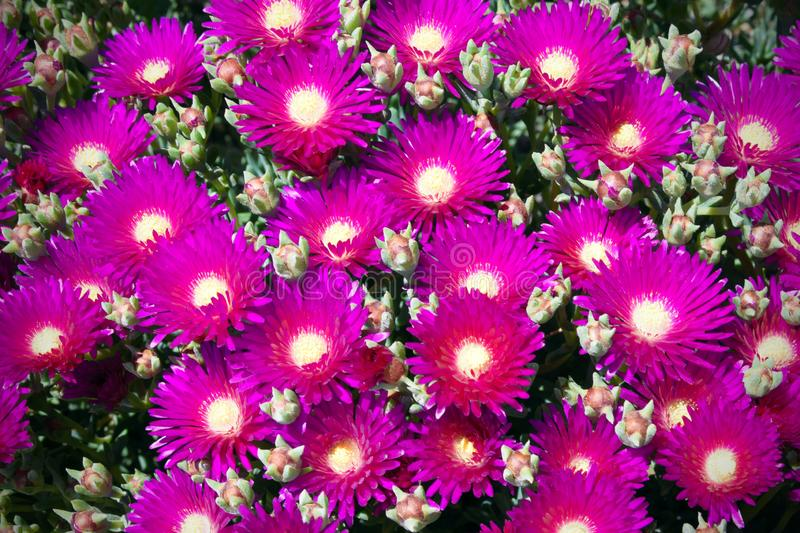 Purple flowers and green leaves of Delosperma cooperi, a plant in the Aiza family. Succulent. stock images