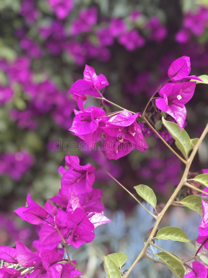 Purple flowers hanging from tree royalty free stock photos