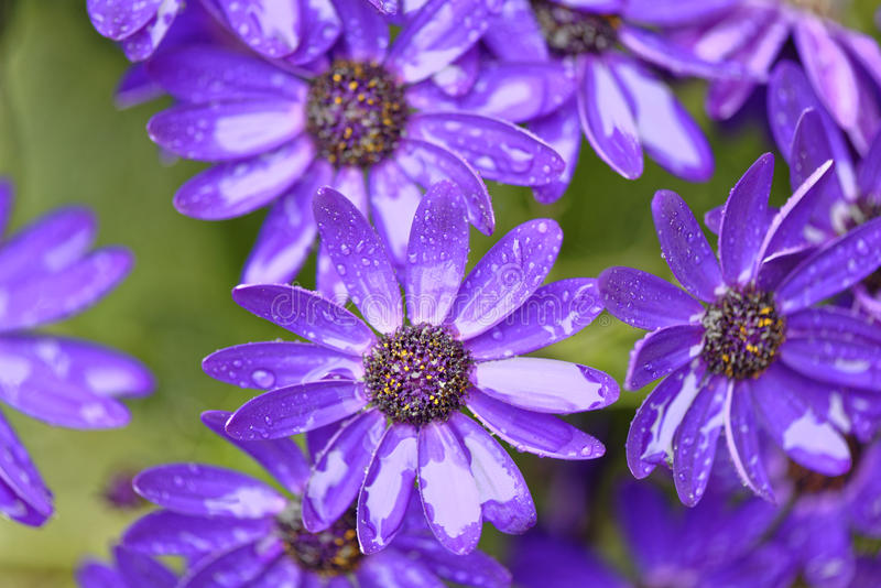 Purple flowers in hertfordshire, England royalty free stock image