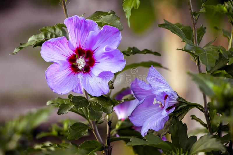 Purple flowers of hibiscus in garden close up on blurry backgr royalty free stock image