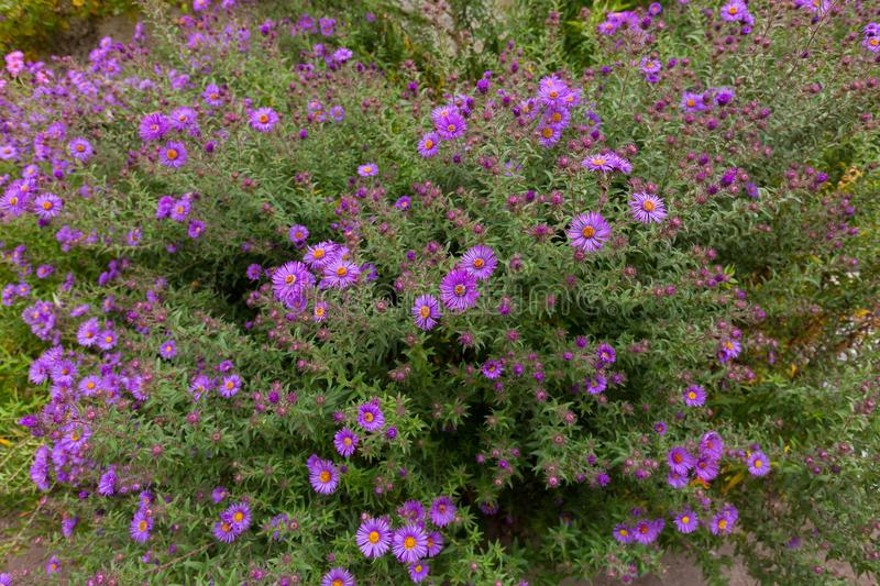 Purple flowers of Italian Asters, Michaelmas Daisy Aster Amellu stock photos