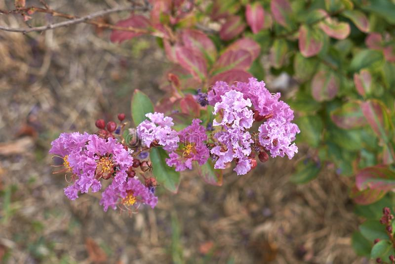 Purple flowers of Lagerstroemia shrub stock photography