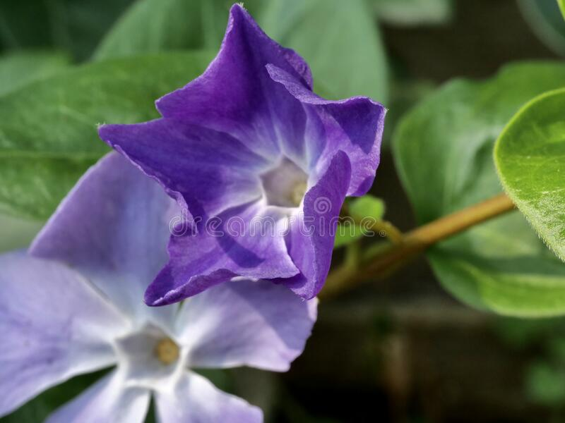 Purple Flowers Of Lesser Periwinkle Stock Image Image Of Species