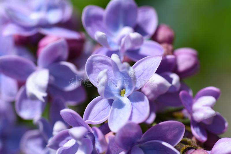 Purple flowers of a lilac bush bloom in spring, close up. Purple flowers of lilac bush bloom in spring, close up stock image
