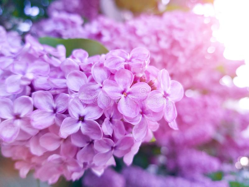 Purple flowers lush lilac in the sunlight. The fragrant flowers bloom in may. Romantic frame royalty free stock image