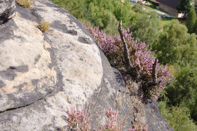 Purple flowers on mountain edge. Little purple flowers growing on the side of grey mountain royalty free stock image
