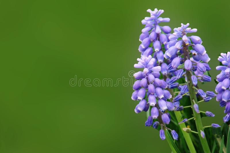 Purple flowers of muscari on a dark green blurred background stock image